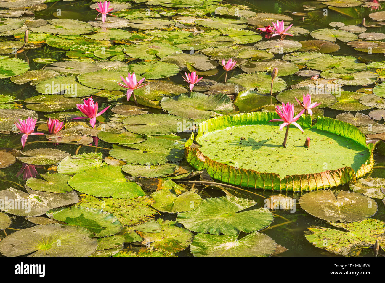 Red Lotus Flowers Stock Photos Red Lotus Flowers Stock Images Alamy