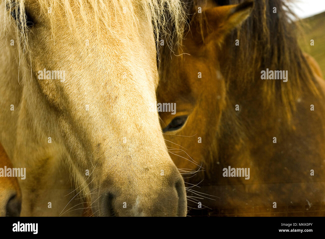 Horses in Iceland - Stock Image
