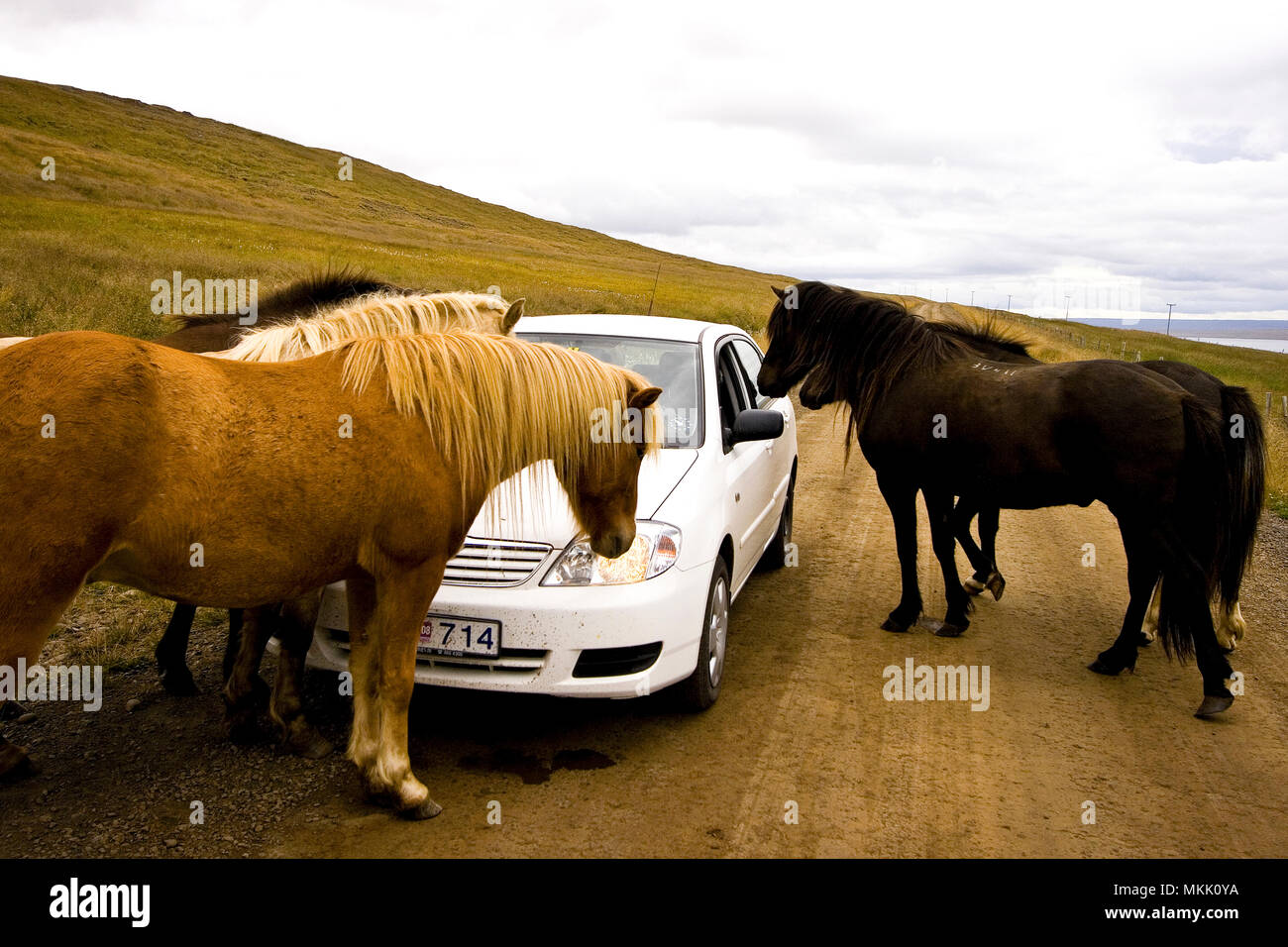 Horses attack car. Iceland - Stock Image