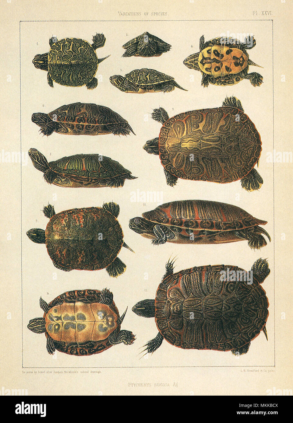 Turtle Drawing Stock Photos Amp Turtle Drawing Stock Images