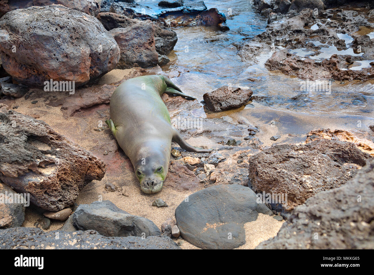 This young Hawaiian monk seal, Monachus schauinslandi, (endemic and endangered) was photographed on the west end of Molokai, Hawaii. Monk seals sleep  - Stock Image