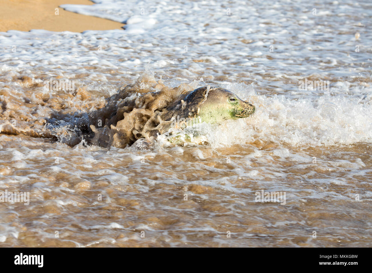This Hawaiian monk seal, Monachus schauinslandi, (endemic and endangered) is making her way off Kepuhi Beach, Kaluakoi, on Molokai's West End, Hawaii, - Stock Image