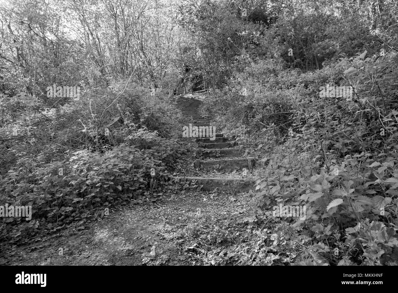 A stepped path in woodland - Stock Image