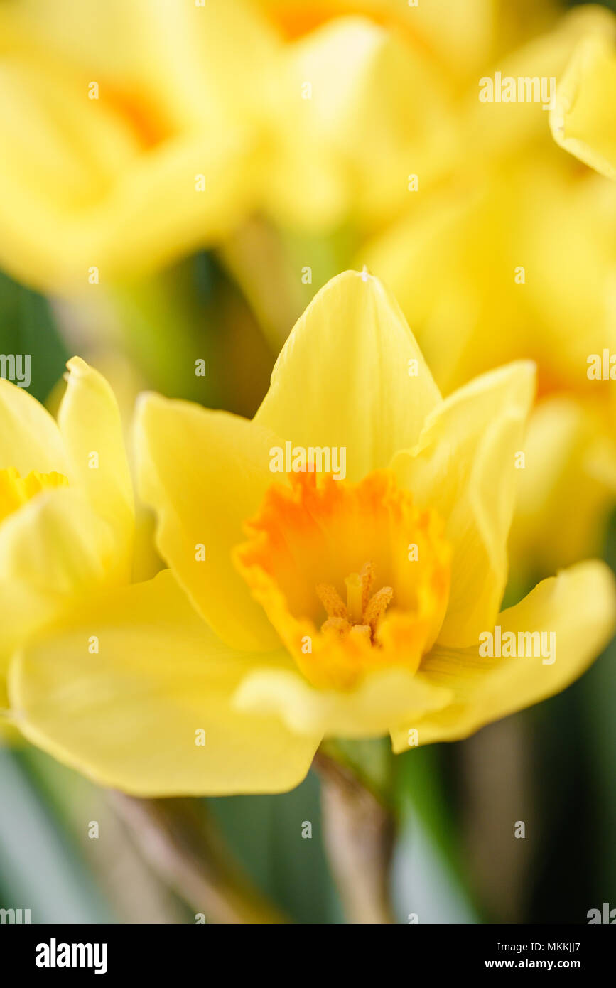 Posy of bright yellow spring daffodils in a vase placed in the ...