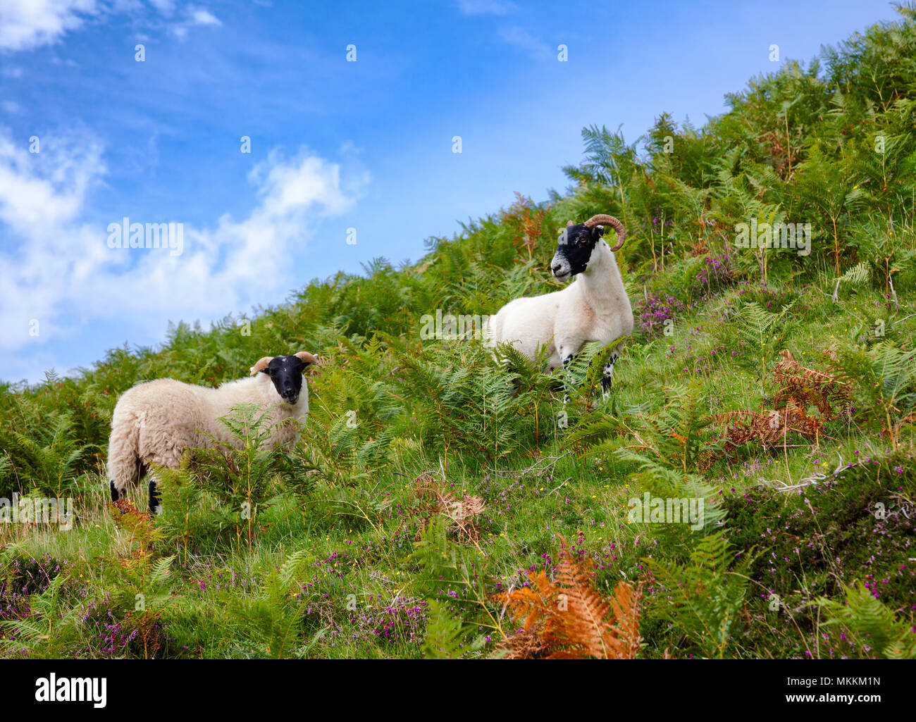 Goats grazing on a hill at Scottish Highlands - Stock Image