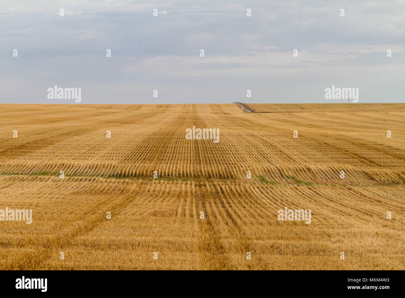 Rows and rows of wheat in paddock western australia Stock Photo