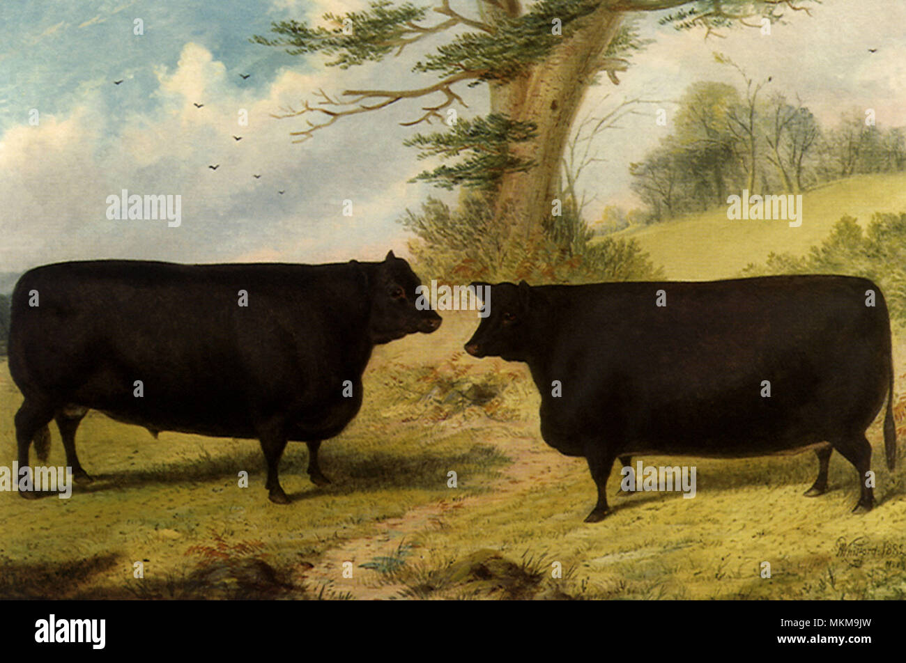 Aberdeen Angus Cattle - Stock Image