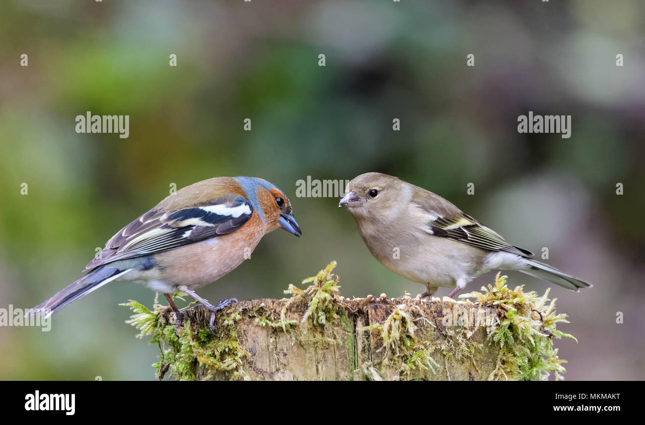 Male and female chaffinches sitting on moss covered fence post - Stock Image