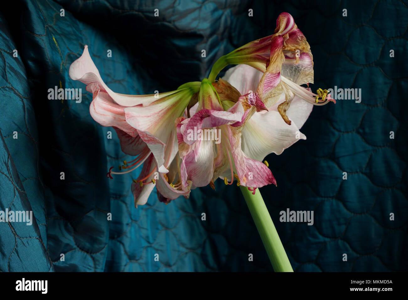 Amaryllis Now Fading - Stock Image