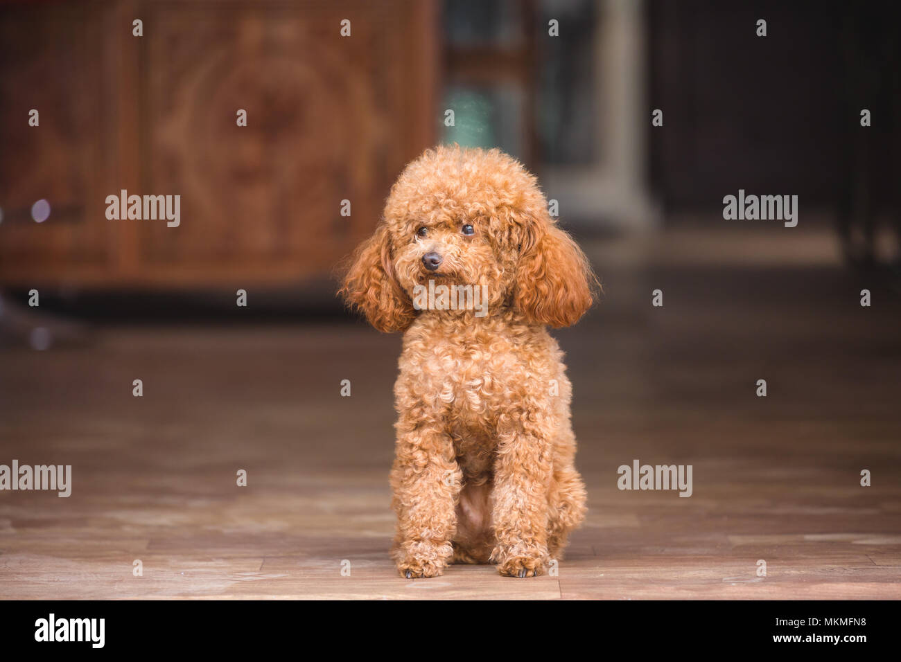 cute toy poodle standing inside house Stock Photo
