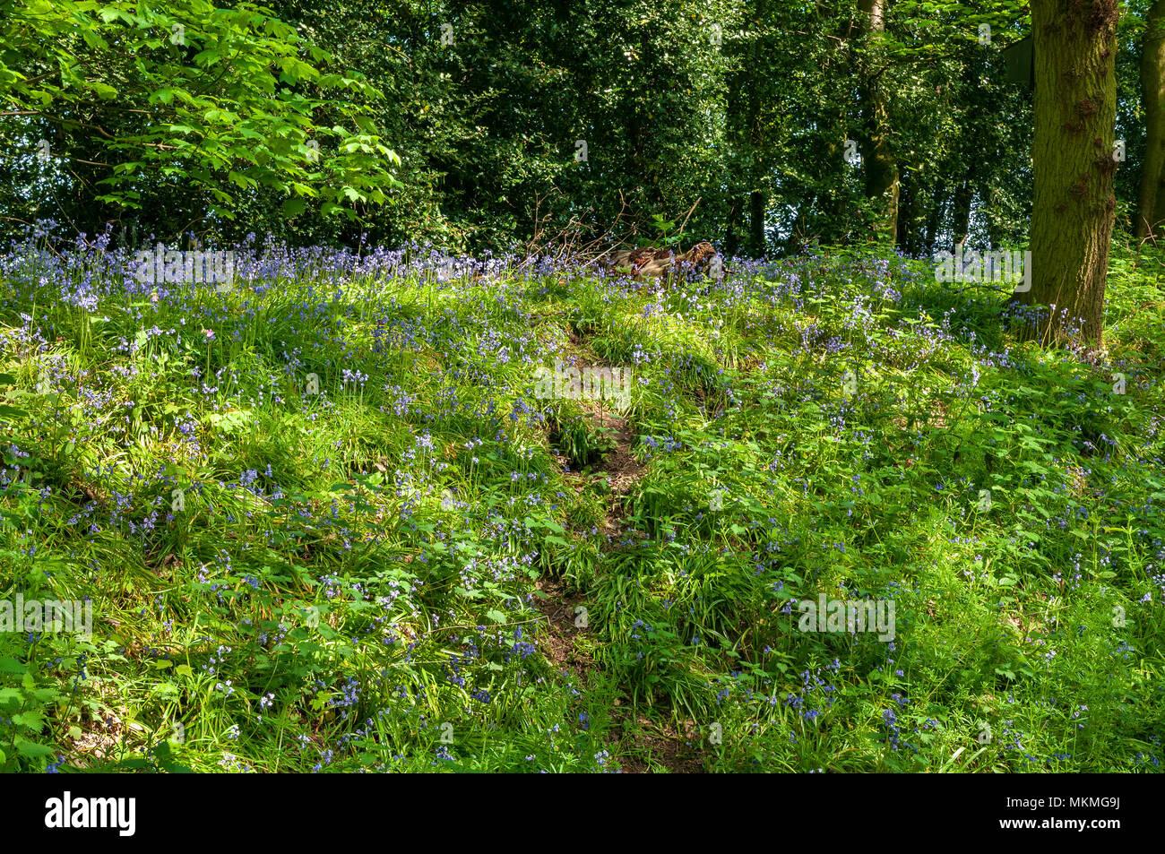 Woodland glade. Bluebells - Stock Image