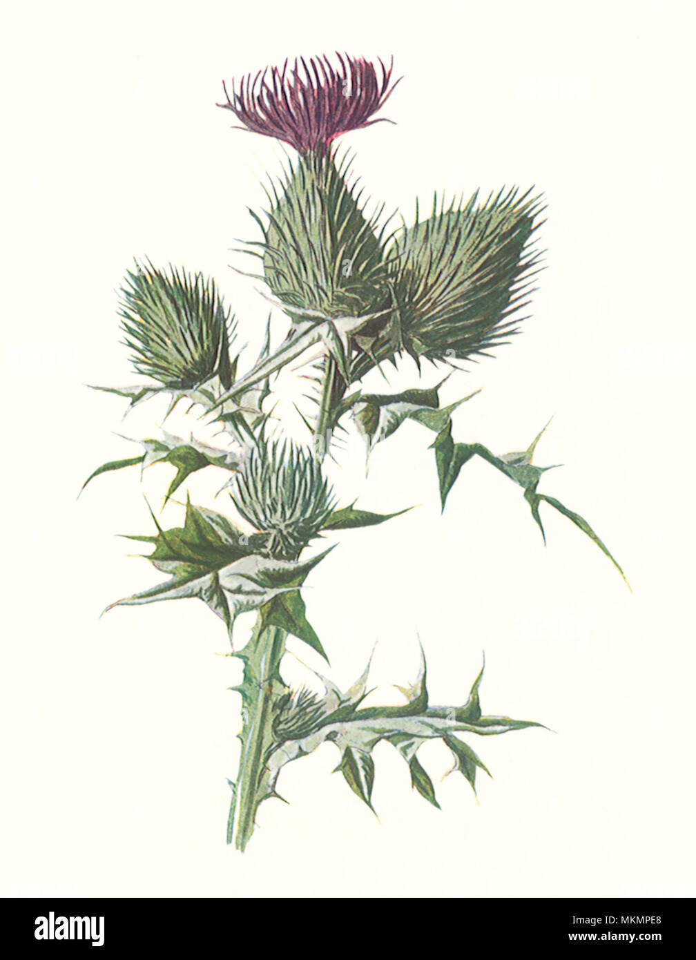 Spear-Plumed Thistle - Stock Image