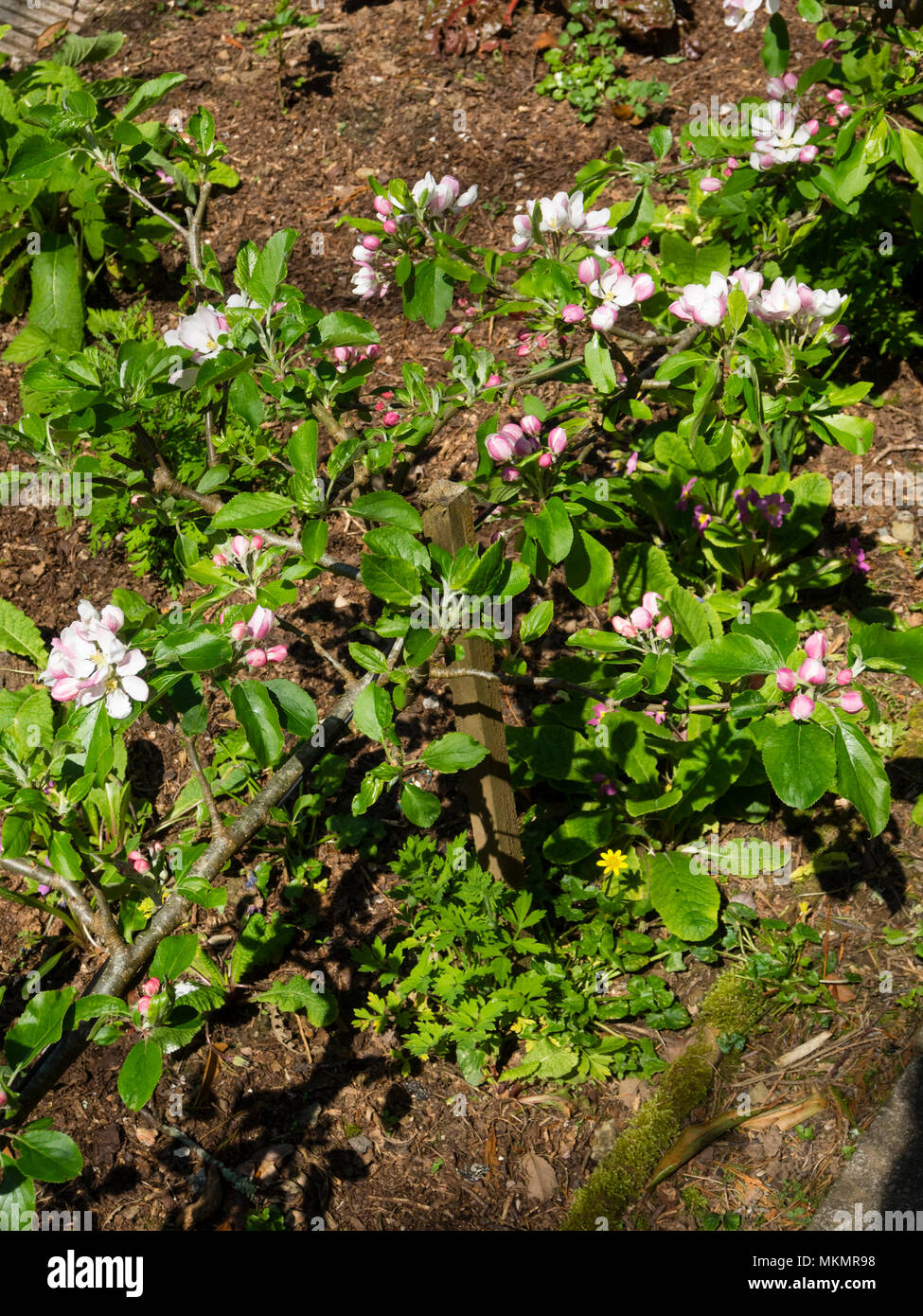 Pink and white spring Apple blossom of the heritage variety (Cornwall 1800), Malus 'Cornish Gillyflower', trained as a single cordon step over fruit - Stock Image