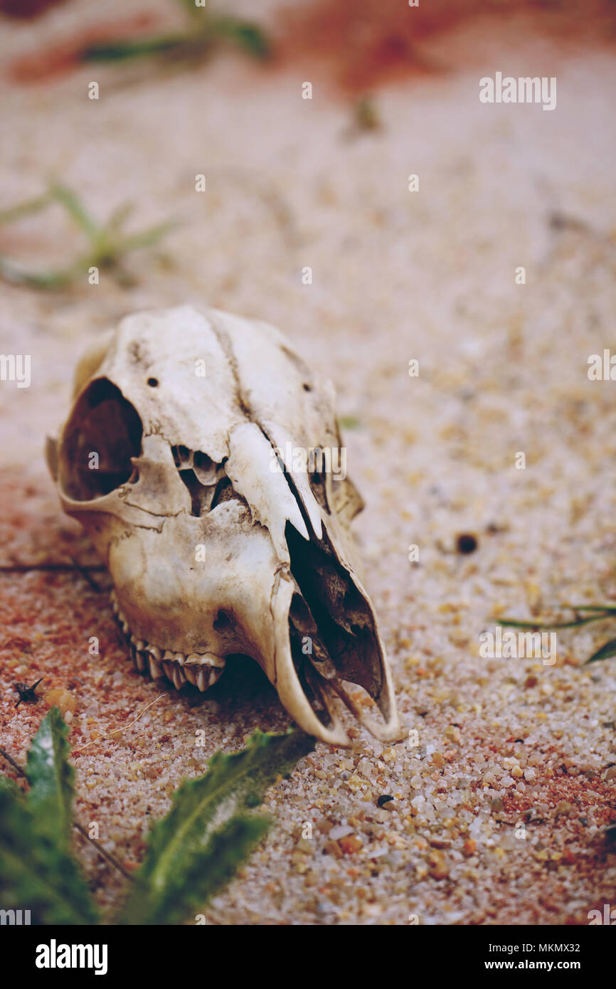 animal skull in a desertical environment - Stock Image