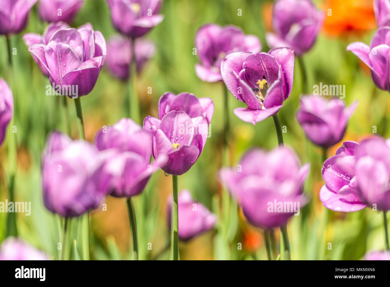 Lilac tulips in the botanical garden. - Stock Image