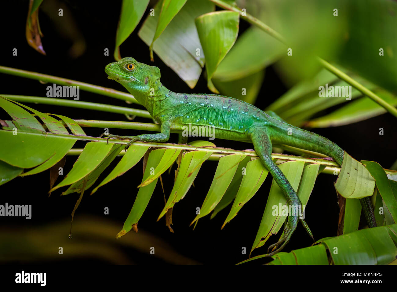 Green Basilisk - Basiliscus plumifrons, green lizard from Central America forests, Costa Rica. Stock Photo