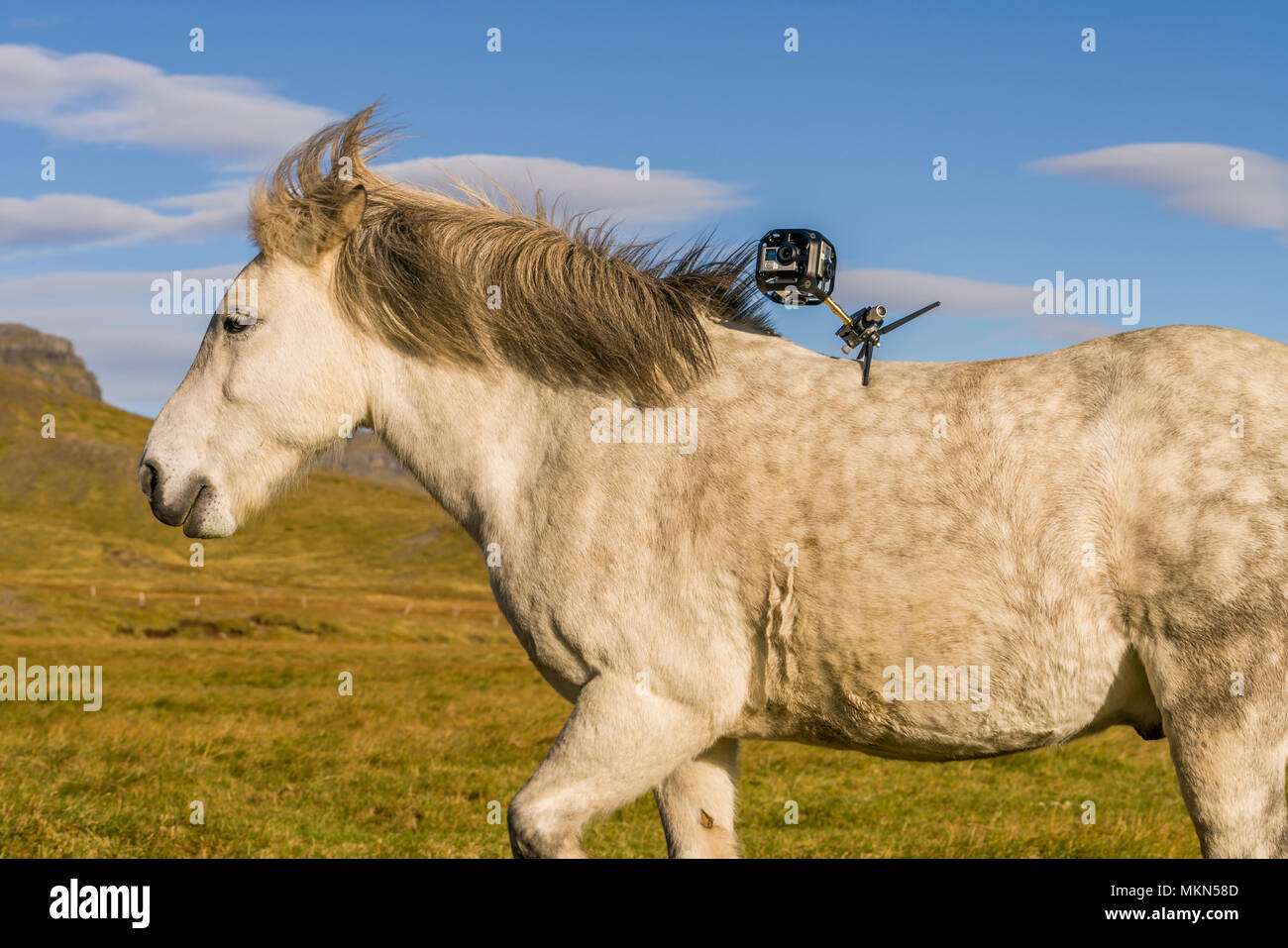 Icelandic Horse with Camera on his back, Iceland - Stock Image