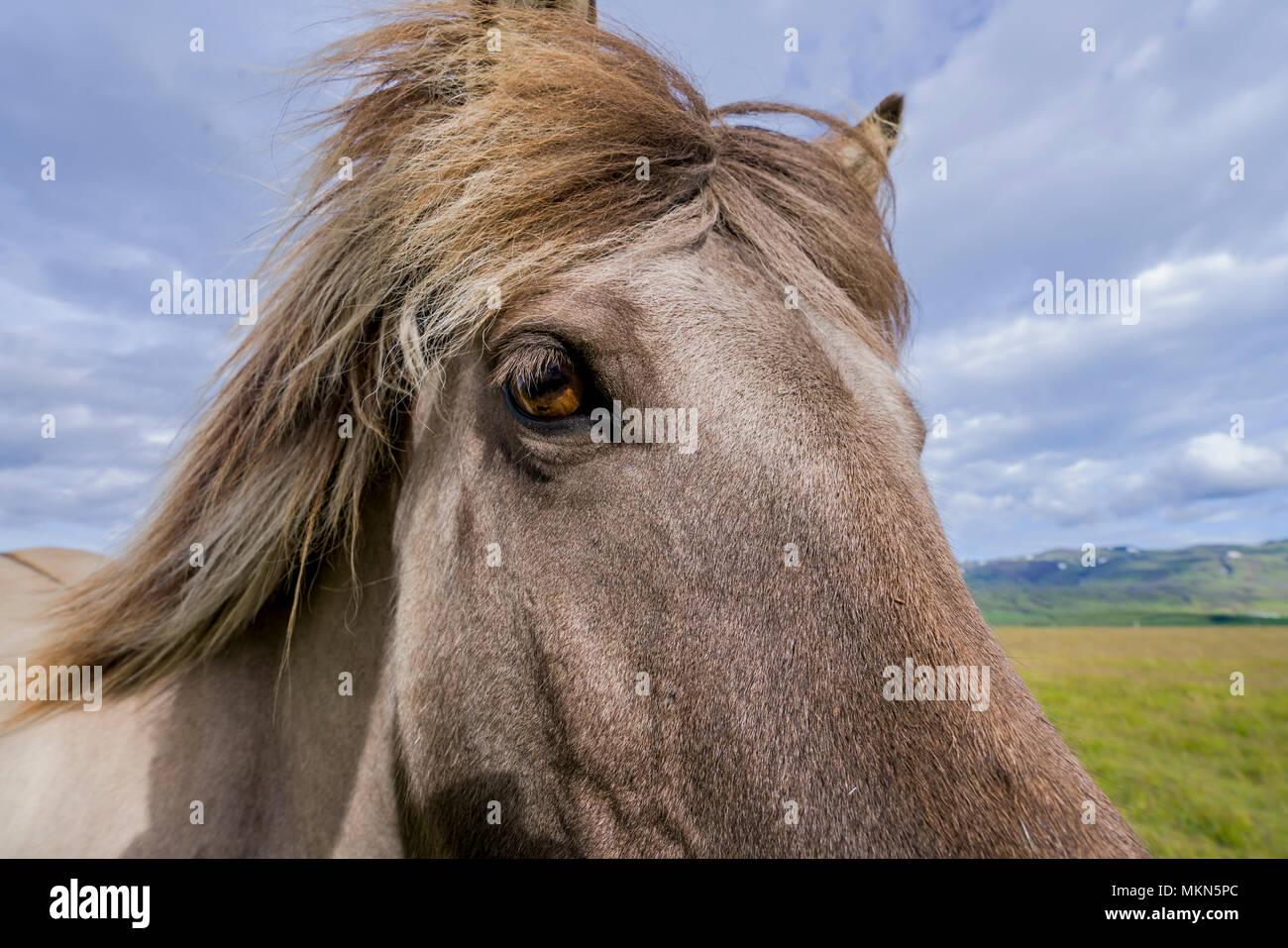 Close-up of Icelandic Horse, Iceland - Stock Image