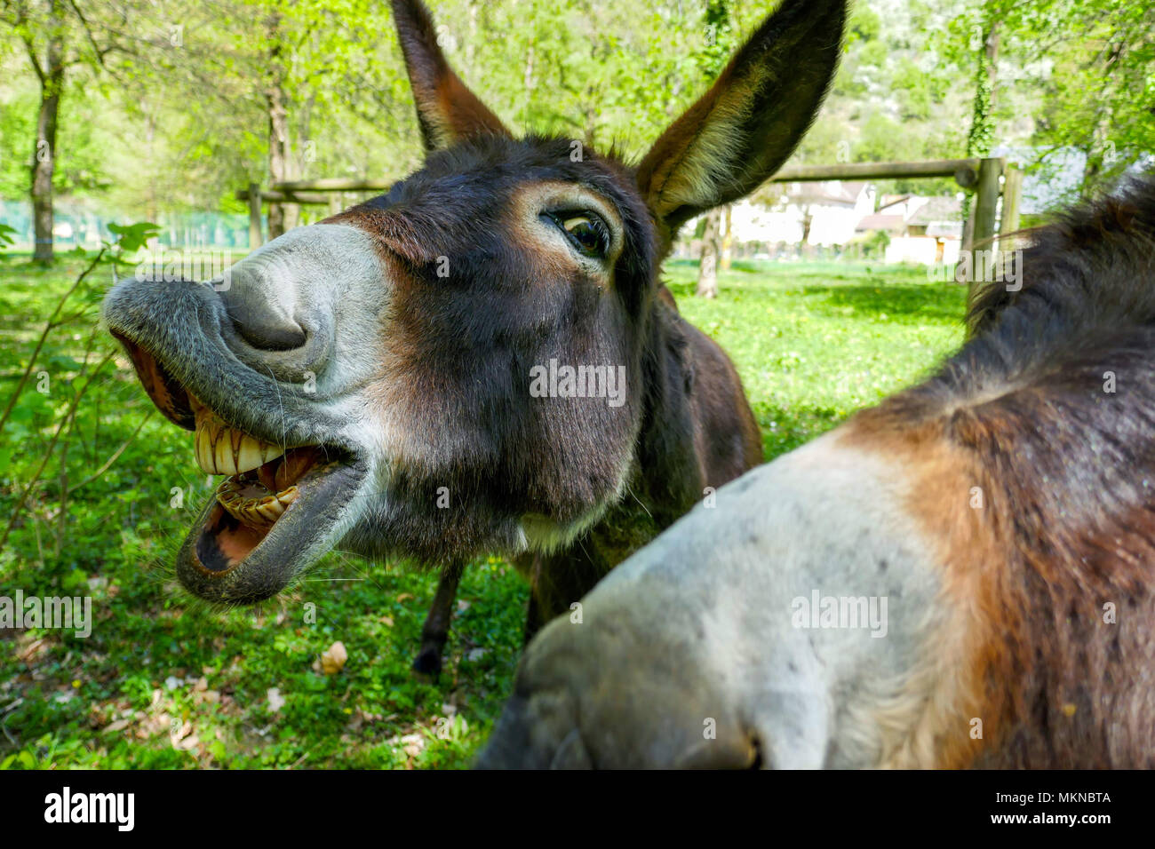 two Donkey, mule with teeth, asses looking at the camera - Stock Image