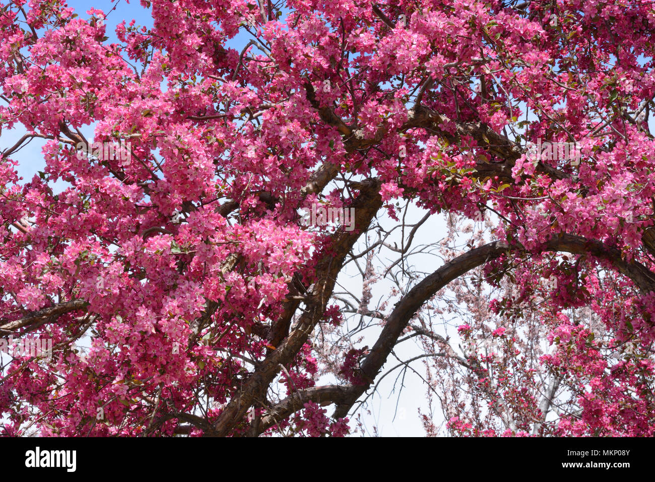Pink Crab Apple Flowers Blossoming On Tree Branches In Springtime