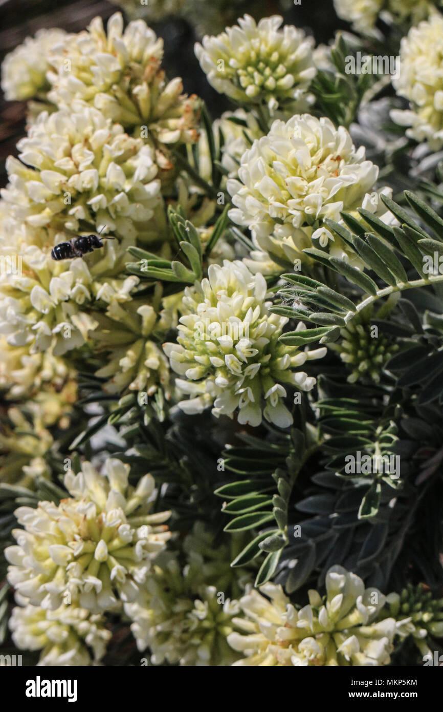 Anthyllis barba-jovis - Stock Image