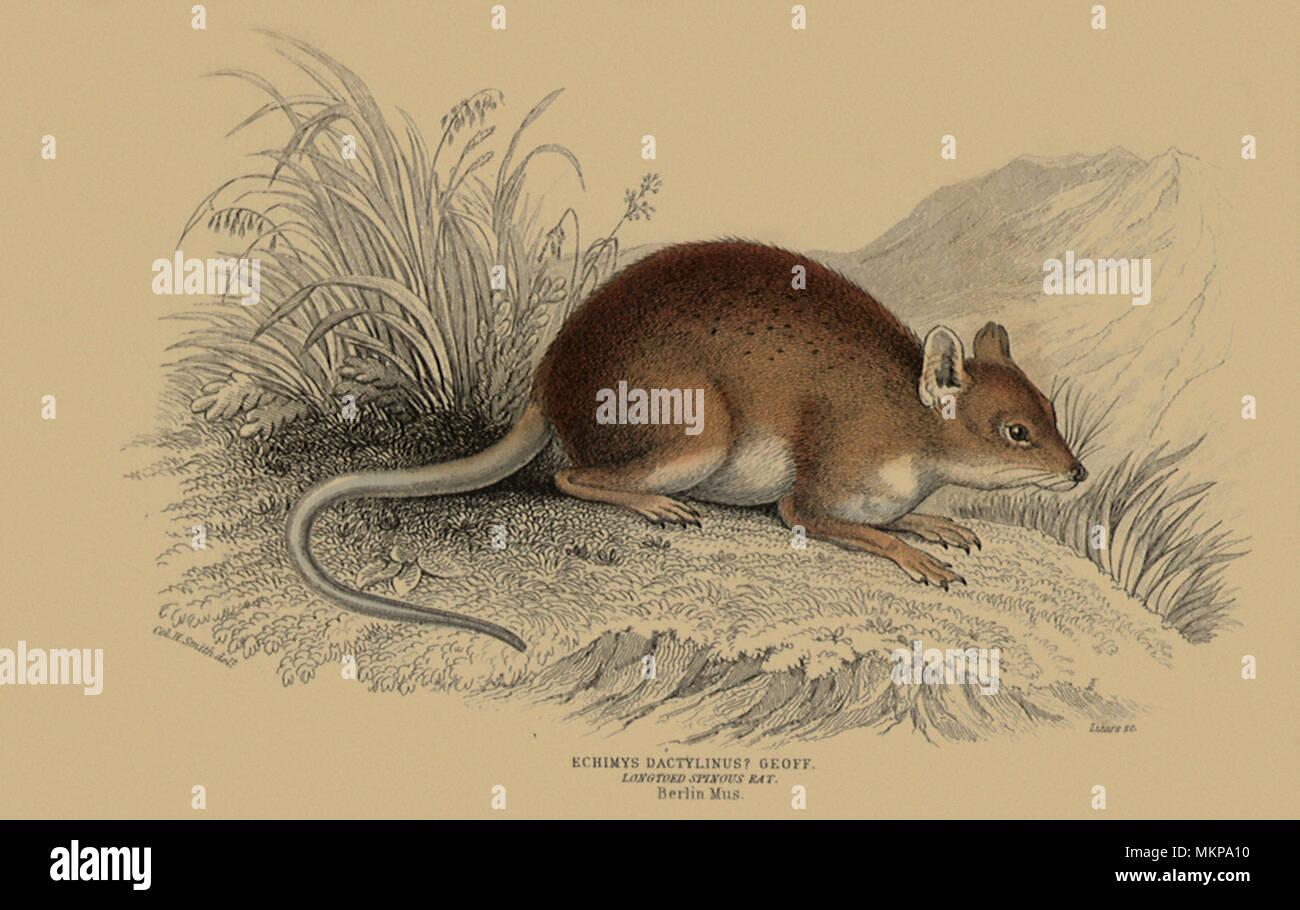 Longtoed Spinous Rat, Echimys Dactylinus Geoff - Stock Image