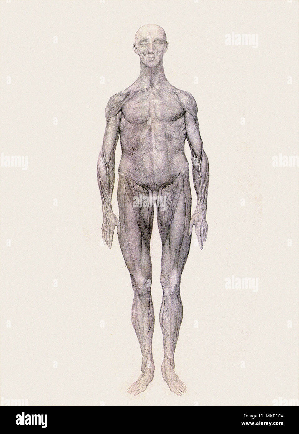 Human Being, Anterior View - Stock Image