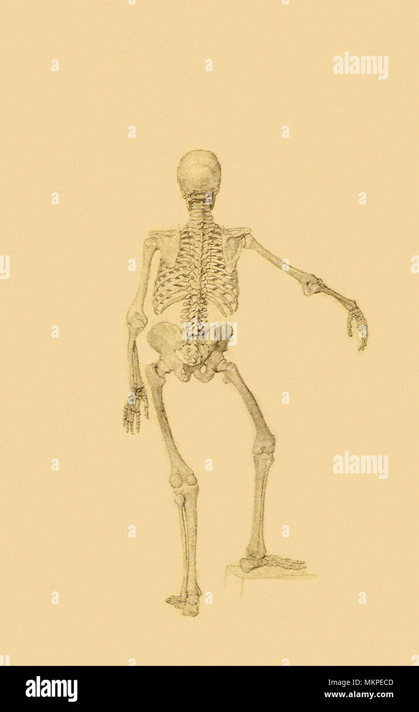 Human Skeleton, Posterior View: Right Arm Outstretched Stock Photo ...