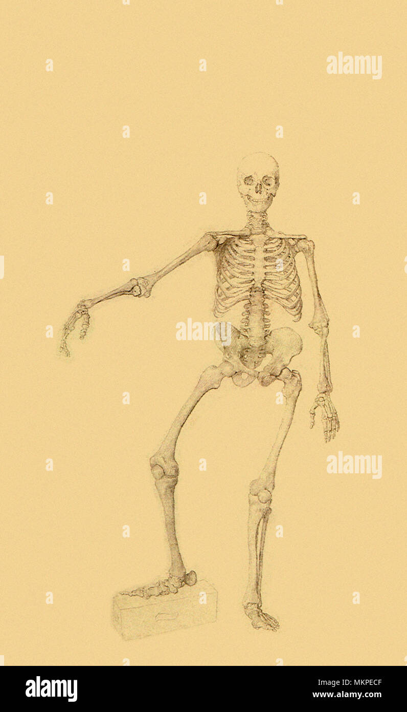 Human Skeleton, Anterior View, Right Arm Outstretched - Stock Image