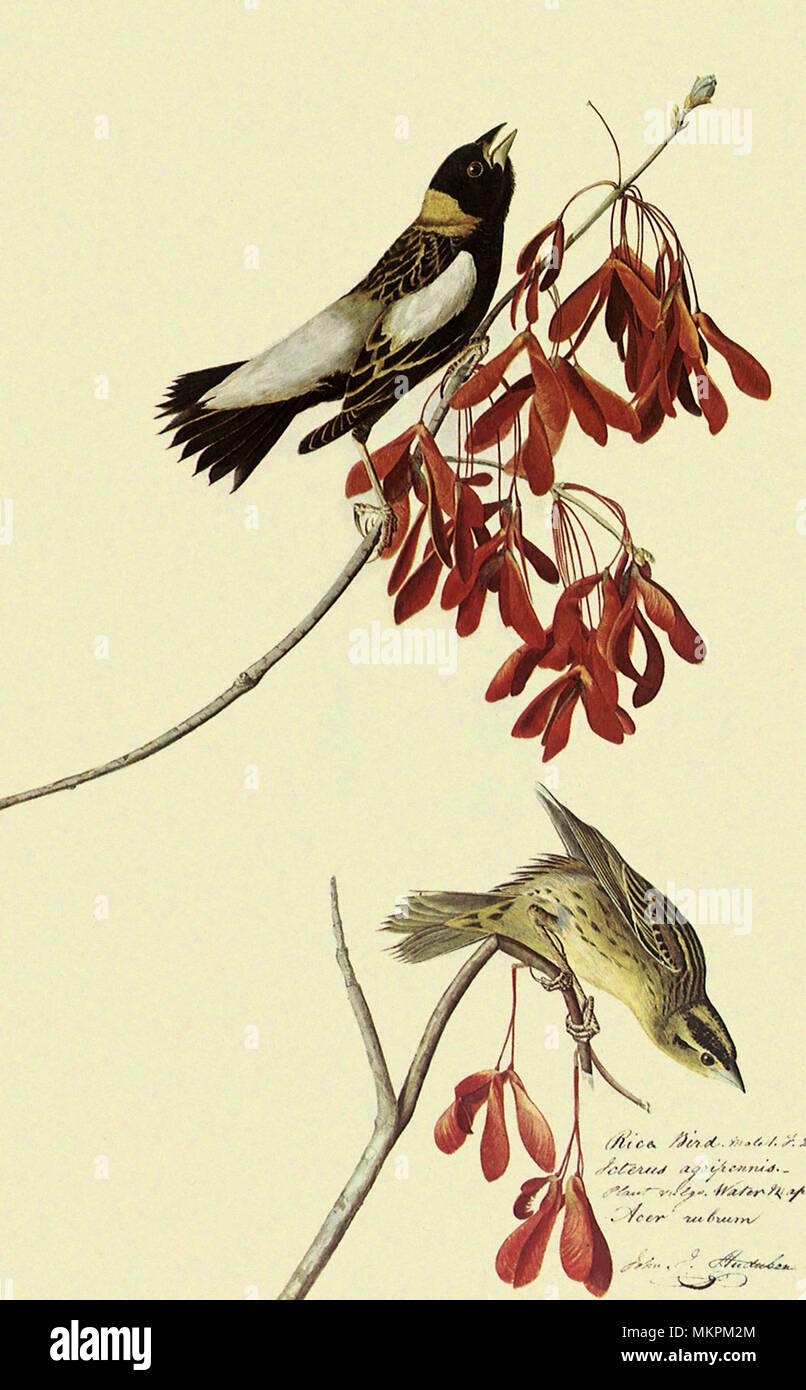 Bobolink, Dolichonyx oryzivorus - Stock Image