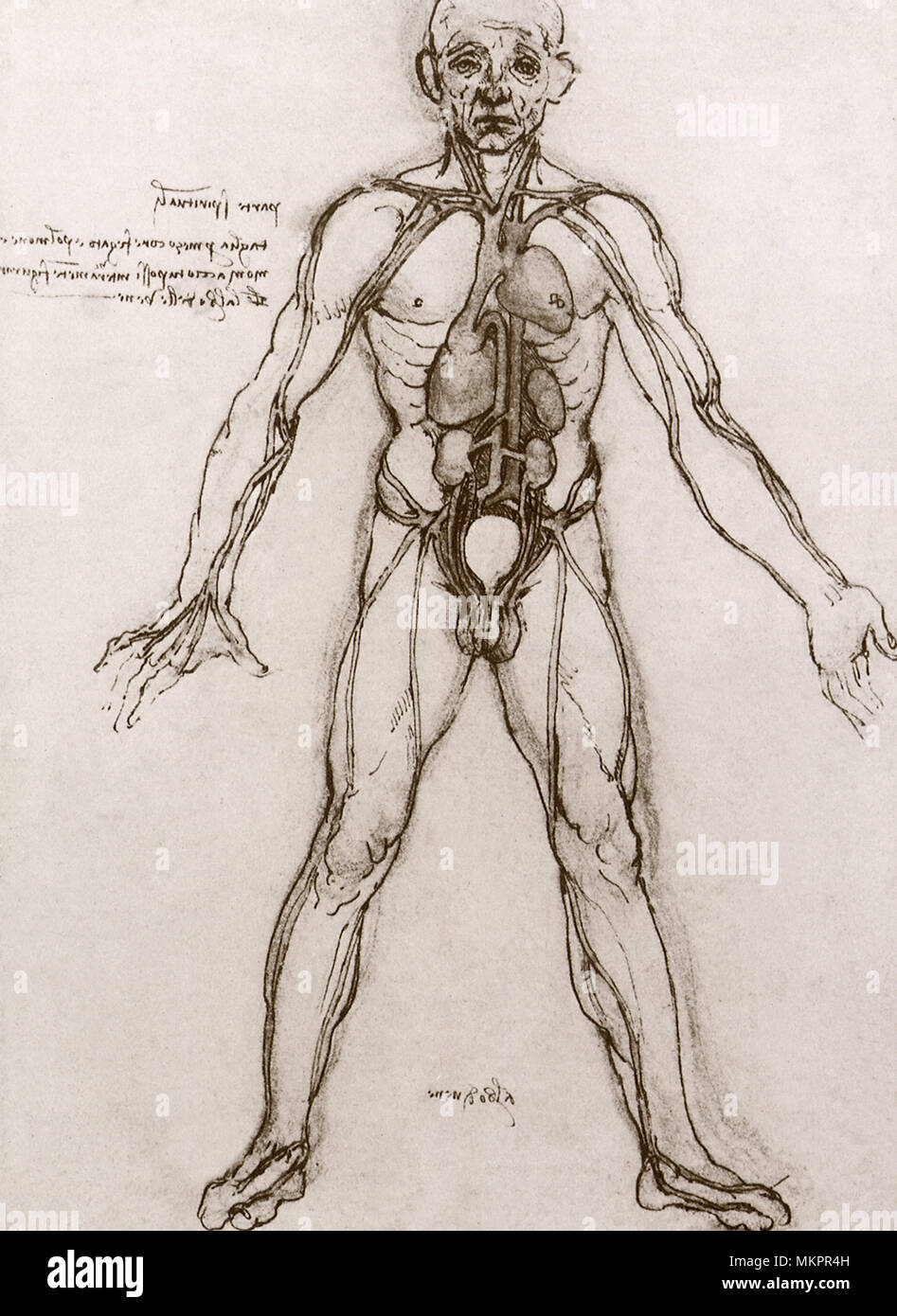 Anatomical study the heart vital organs and main arteries stock anatomical study the heart vital organs and main arteries ccuart Choice Image