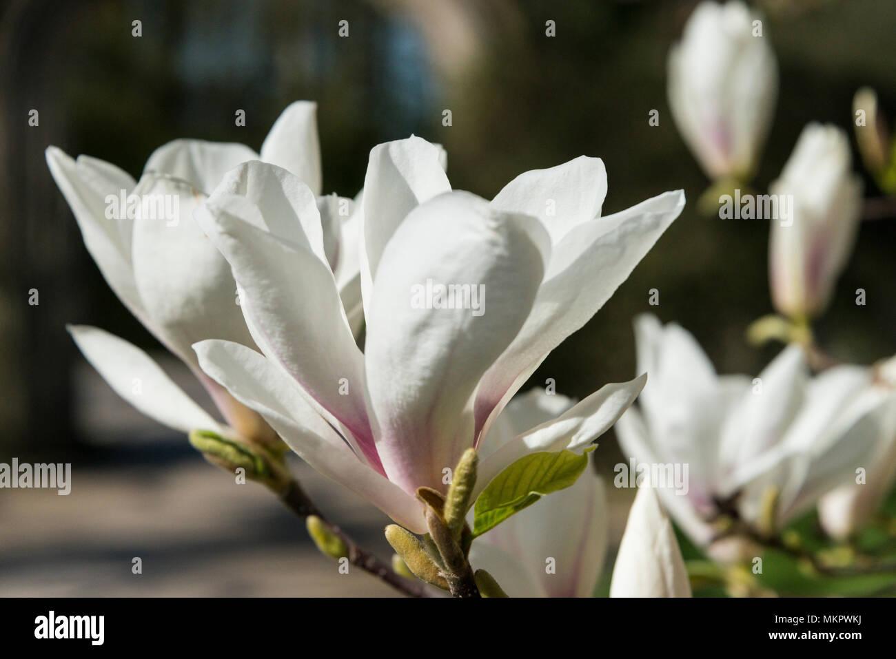 A White Flower Of A Saucer Magnolia Tree Magnolia Soulangeana