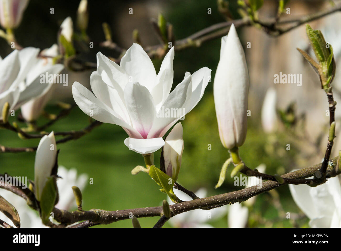 A White Flower And A Flower In Bud Of A Saucer Magnolia Tree Magnolia Soulangeana Stock Photo Alamy