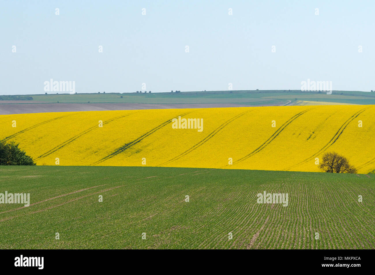 Rapeseed Oil Field - Stock Image