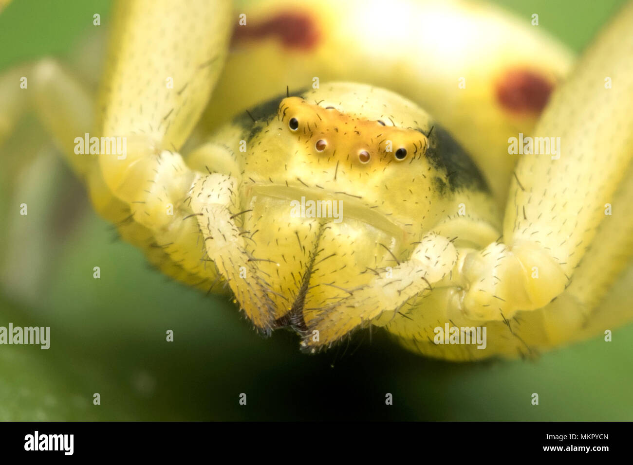 Close up of the face of a Crab spider (Misumena vatia) Tipperary, Ireland - Stock Image