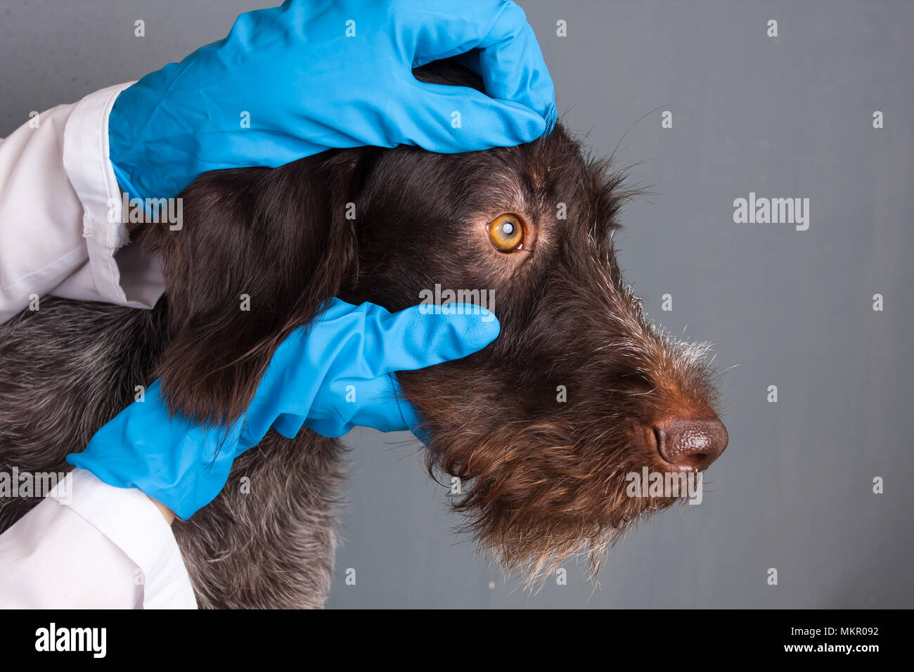 hands of veterinarian checking eyes of dog in vet clinic - Stock Image