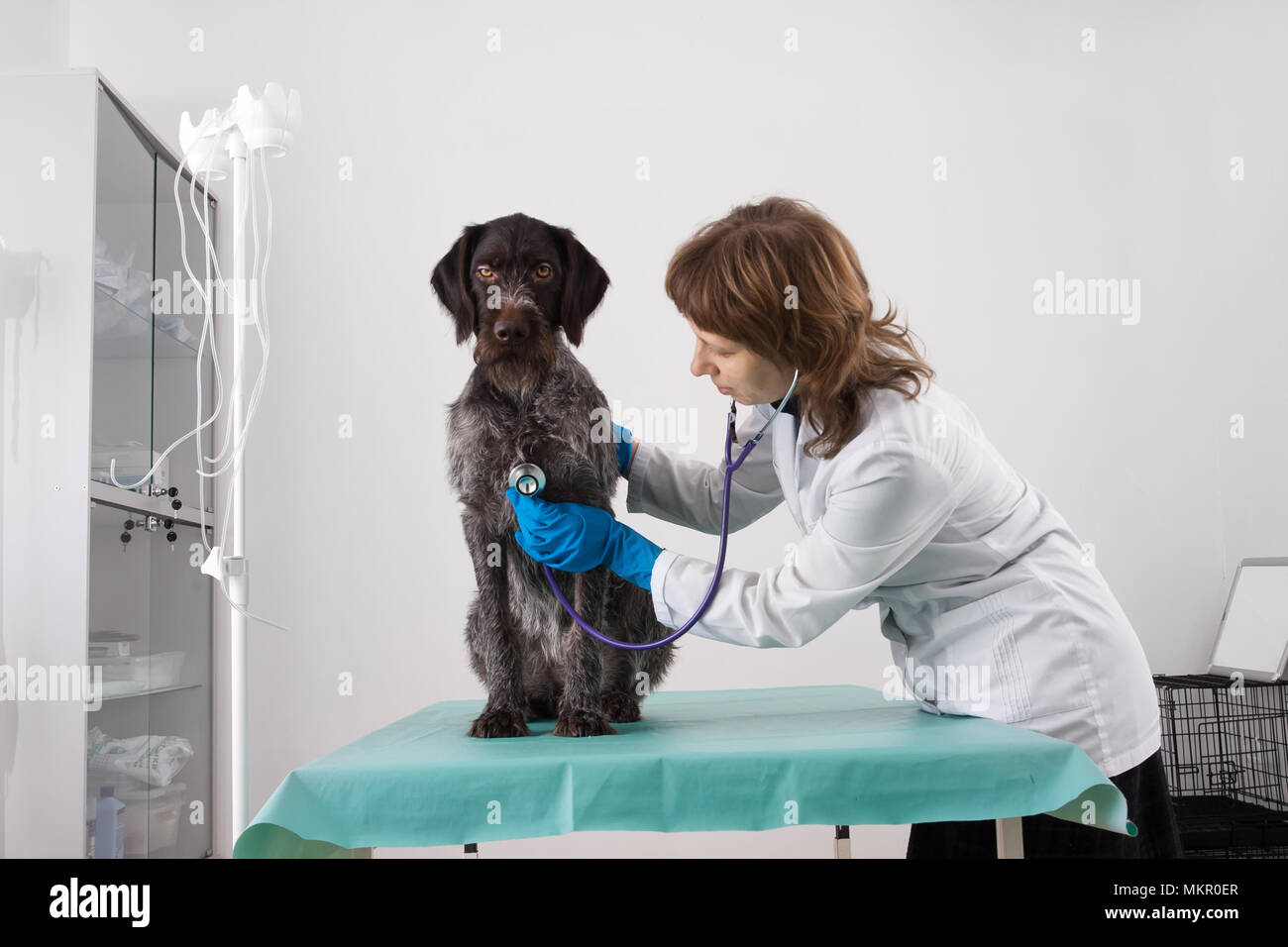 veterinarian examining dog with stethoscope in vet clinic - Stock Image