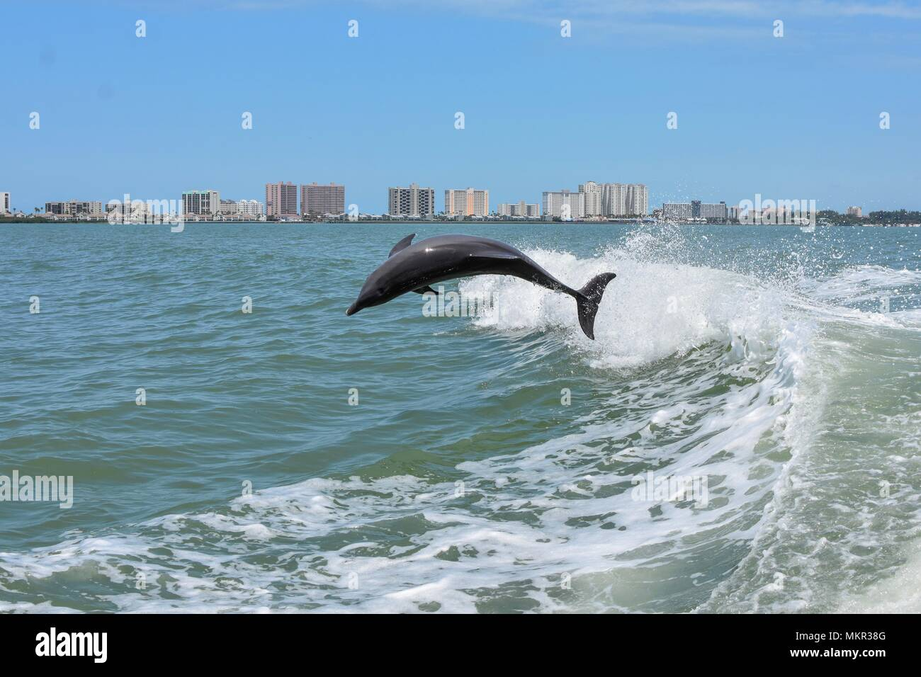 Dolphin watching at Clearwater, FL. - Stock Image