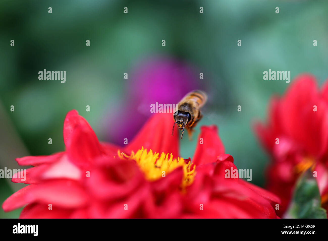 Bee in Action - Stock Image