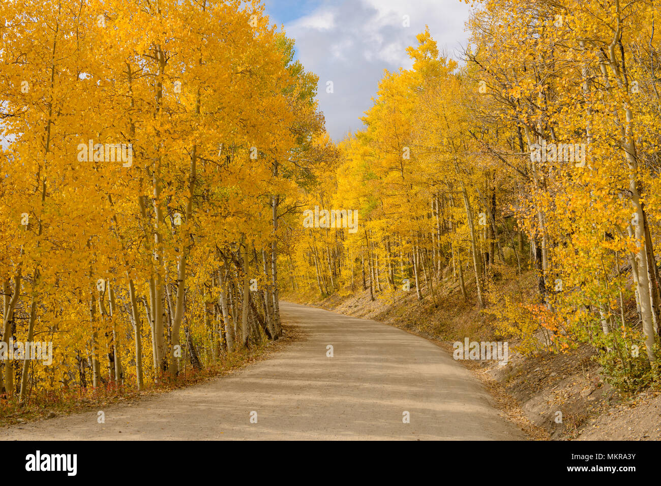 Aspen Grove - The sun shines on a unpaved mountain road, winding through a dense aspen grove in golden autumn of Colorado, Boreas Pass, CO, USA. - Stock Image