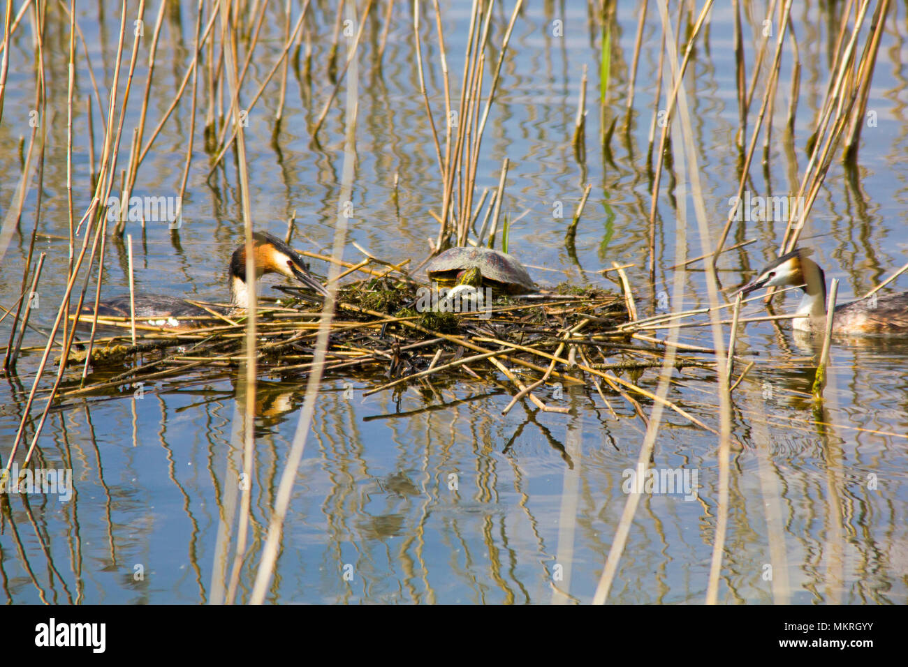 Terrapin on Great Crested Grebe's floating nest/eggs. Stock Photo