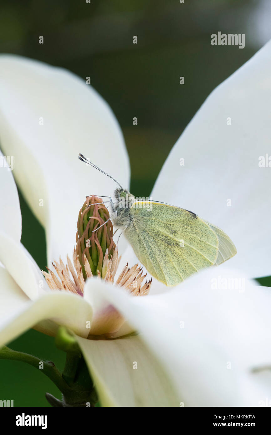 Pieris Brassicae Large White Cabbage White Butterfly Resting On