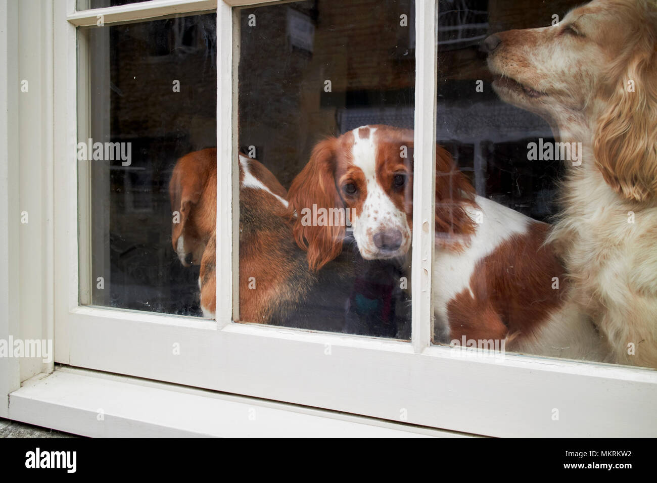three dogs in the window of a house in england uk - Stock Image