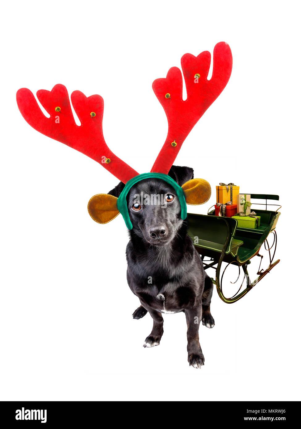cute black little dog wearing xmas or christmas reindeer headband