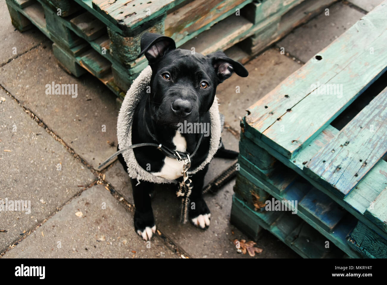 Portrait of a three-month old little black pit bull dog - Stock Image