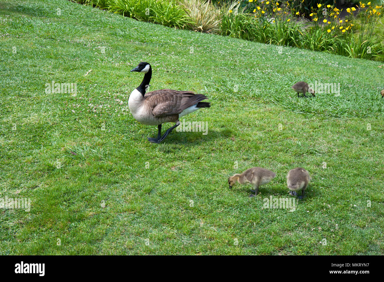 Mother goose and baby geese on lawn at the Huntington Gardens, in Pasadena, CA - Stock Image