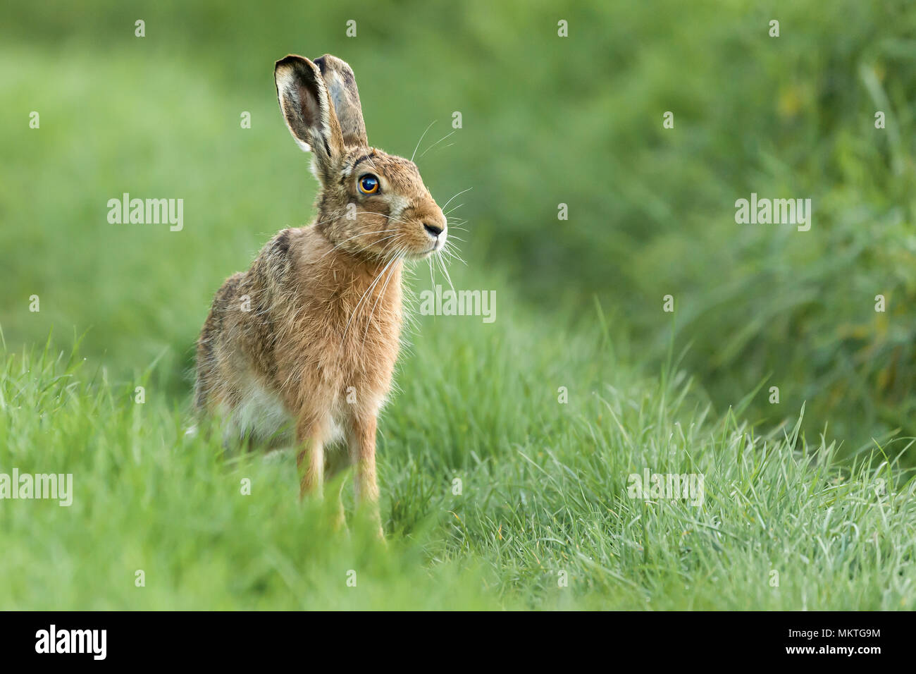 Beautiful wild hare in Norfolk UK early morning seen close up and in high detail. Wet grass farmland location - Stock Image
