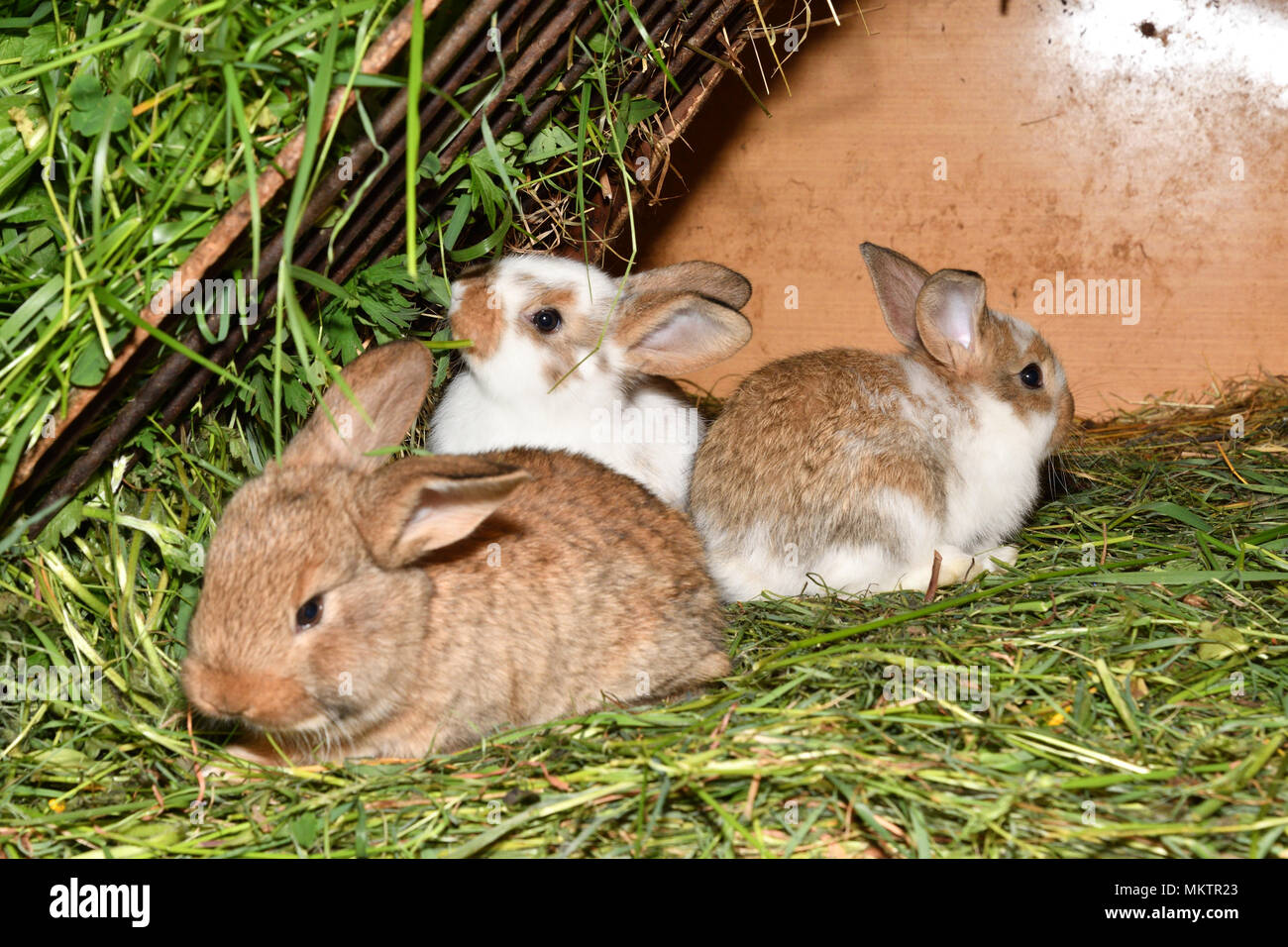family rabbit mutter and little cutie watching around his hay nest close up portrait - Stock Image
