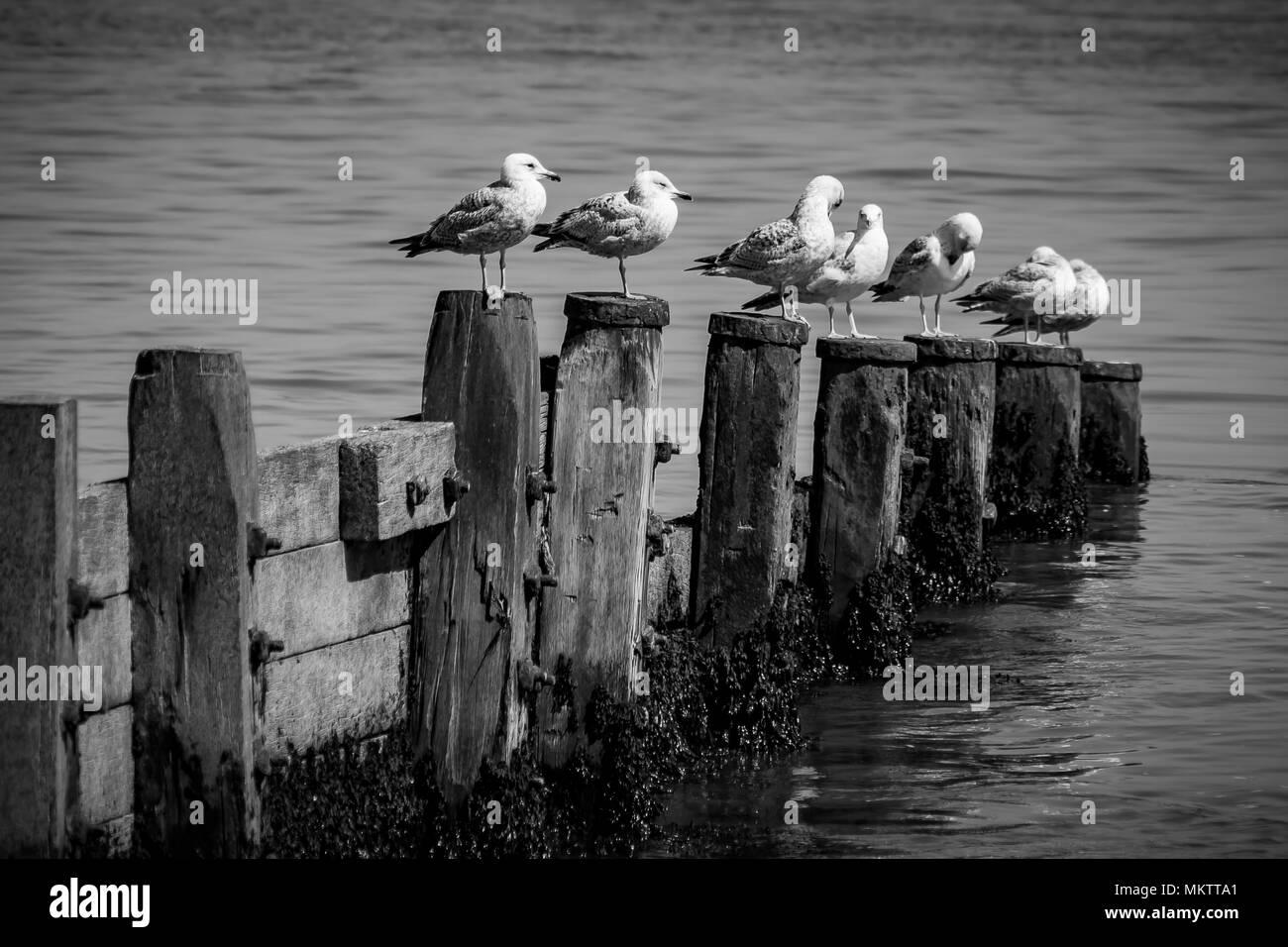 sea gulls - Stock Image