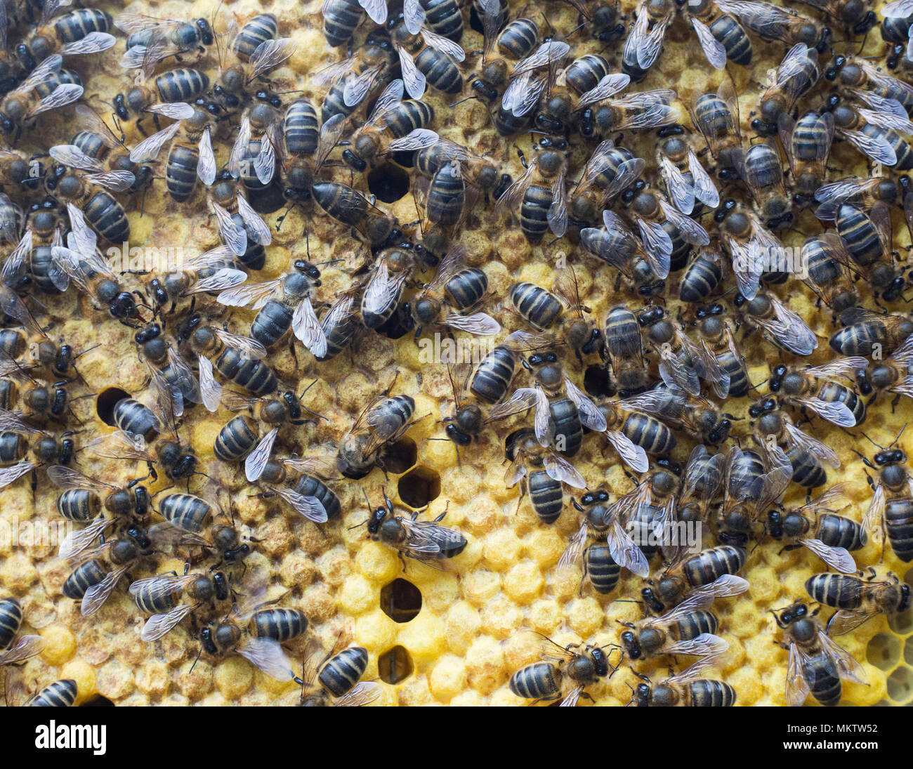 Spanish Honey Bees 'Apis mellifera' on comb in Andalucia, Spain - Stock Image